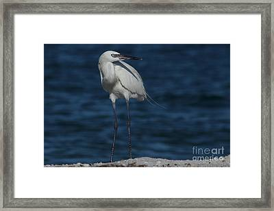 Reddish Egret - White Form Framed Print by Meg Rousher