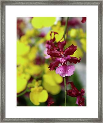 Maroon And Yellow Orchid Framed Print