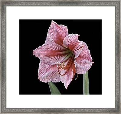 Framed Print featuring the photograph Reddish Pink Lily by Ken Barrett