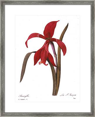 Redout�: St. James Lily Framed Print by Granger