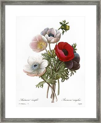 Redoute: Anemone, 1833 Framed Print