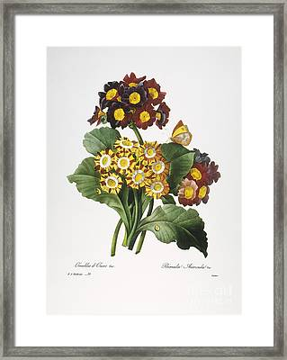 Redoute: Auricula, 1833 Framed Print