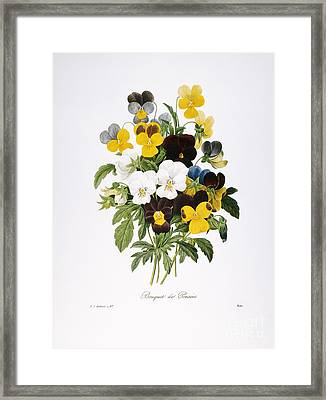 Redoute: Pansy, 1833 Framed Print
