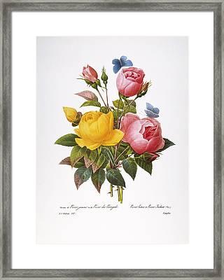 Redoute: Roses, 1833 Framed Print
