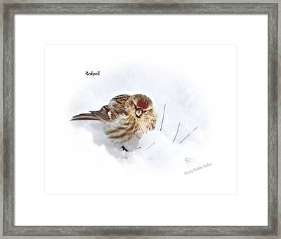 Redpoll Framed Print