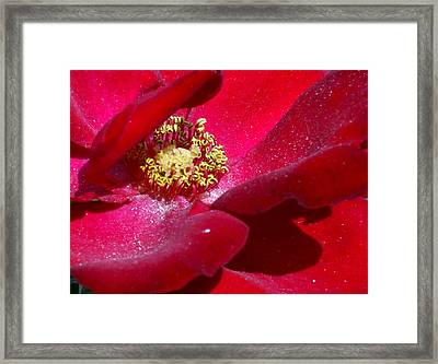 Redrose Framed Print by Amy Williams