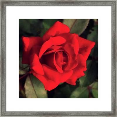 #redrose #iphone6 #naturesbeauty Framed Print