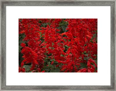 Reds 1 Framed Print by Alan Kepler