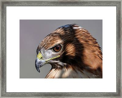 Redtail Hawk Framed Print