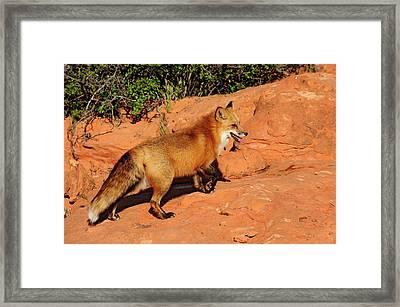Redtailed Fox Framed Print by Dennis Hammer