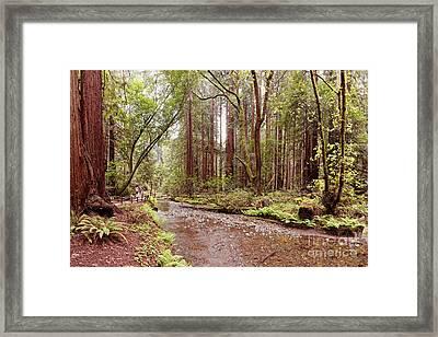 Redwood Creek Peacefully Flowing Through Muir Woods National Monument - Marin County California Framed Print by Silvio Ligutti
