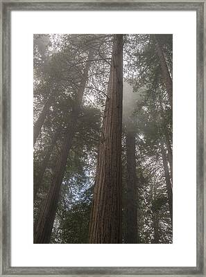 Redwood Fog California Framed Print by Steve Gadomski