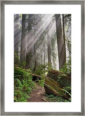 Redwood Light Framed Print