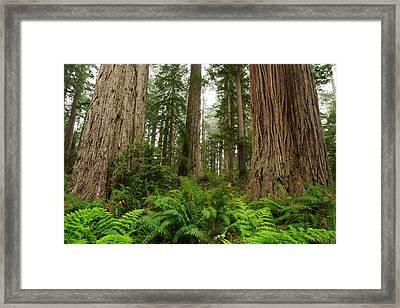 Redwoods Framed Print by Eric Foltz