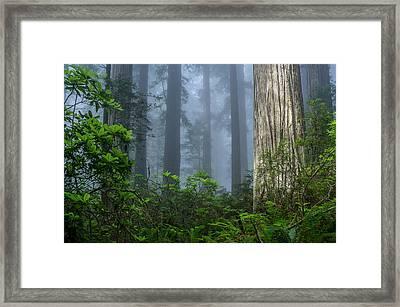 Redwoods In Blue Fog Framed Print