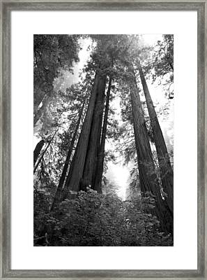Redwoods In The Fog Framed Print by Loree Johnson