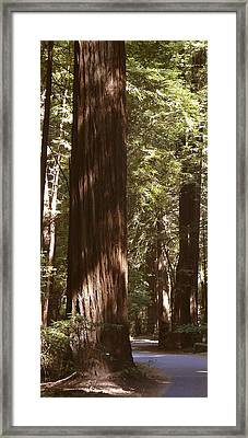 Redwoods Framed Print by Mike McGlothlen