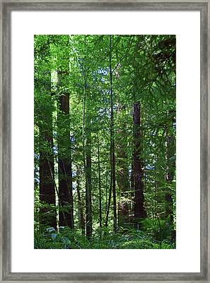 Redwoods No. 3-1 Framed Print