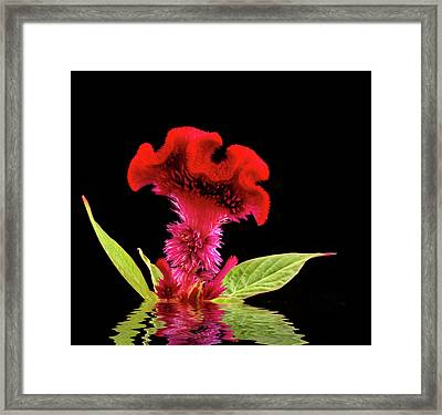 Reflected Celosia Framed Print by Jean Noren