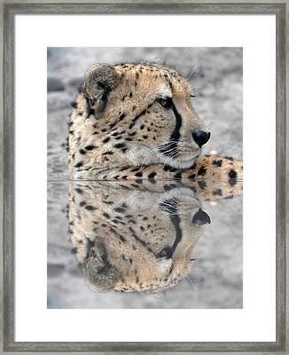 Reflected Cheetah Framed Print by Teresa Blanton