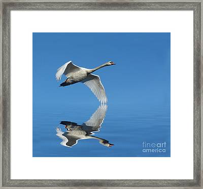 Reflected Swan Framed Print by Lynn Bolt