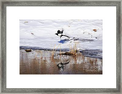 Reflecting Magpie Framed Print