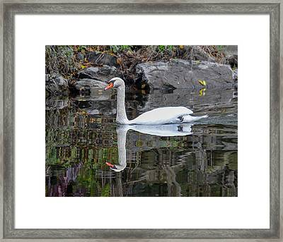 Reflecting Mute Swan Framed Print