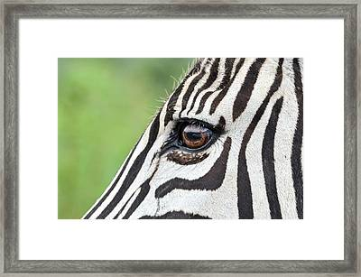 Reflection In A Zebra Eye Framed Print