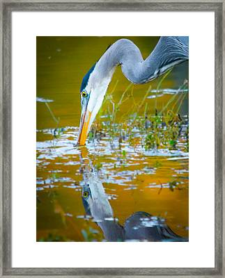 Reflection Of A Great Blue Heron Framed Print by Parker Cunningham