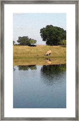 Reflective Cow Framed Print by Donna G Smith
