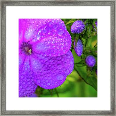 Refreshed Phlox 2 Framed Print