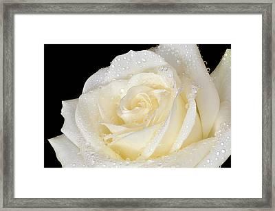 Refreshing Ivory Rose Framed Print