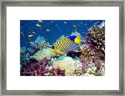 Regal Angelfish Framed Print by Georgette Douwma