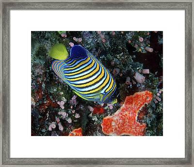 Regal Angelfish, Great Barrier Reef Framed Print