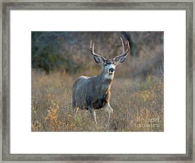 Regal Buck Framed Print