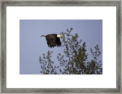 Regal Eagle Framed Print by Everet Regal