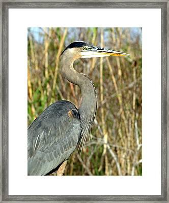 Regal Heron Framed Print by Marty Koch