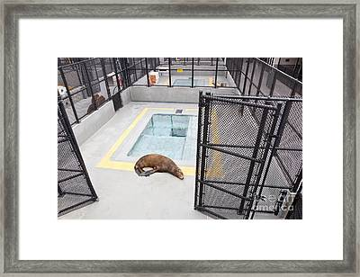 Rehabilitated Sea Lion Framed Print by Inga Spence