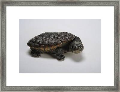 Reimanns Snake-necked Turtle, Chelodina Framed Print by Joel Sartore