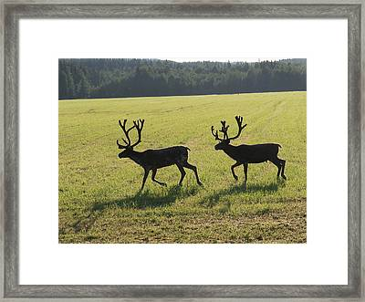 Reindeers On Swedish Fjeld Framed Print