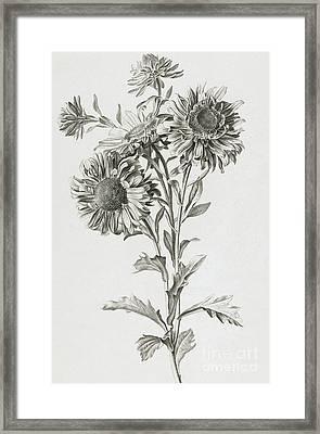 Reine-marguerite Framed Print