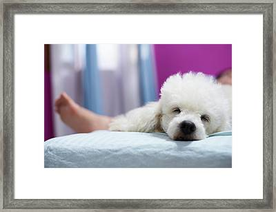 Relax Sleeping White Poodle Dog Framed Print