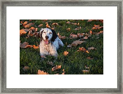 Relaxed And Happy, English Setter Framed Print by Flying Z Photography By Zayne Diamond