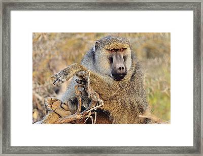 Relaxed Baboon Framed Print