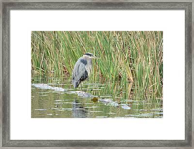 Relaxing Blue Heron Framed Print