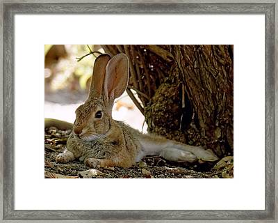 Relaxing Cottontail Framed Print