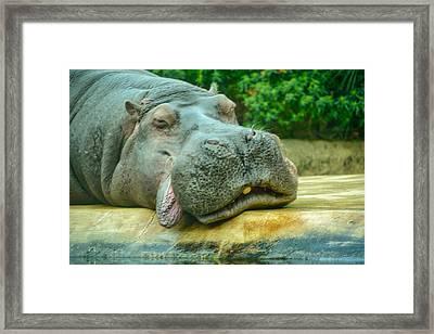 Relaxing Hippo Framed Print