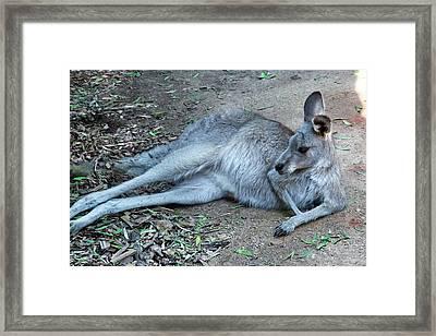 Framed Print featuring the photograph Relaxing Kangaroo by Miroslava Jurcik