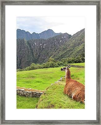 Relaxing Llama In Machu Picchu Framed Print