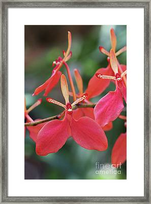 Renanthera Imschootiana Orchid Framed Print